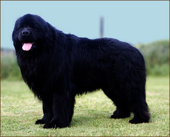 Newfoundland Dog Picture