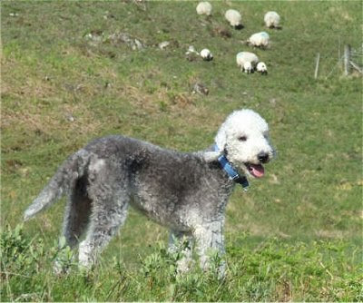 Bedlington Terrier Wallpapers
