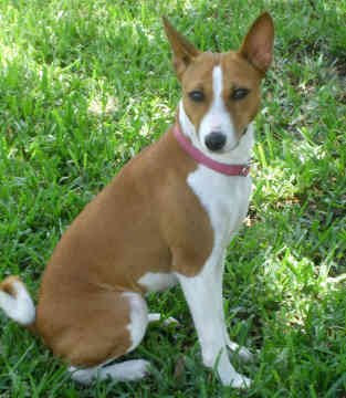 Basenji Dog Wallpaper - Dog Wallpapers