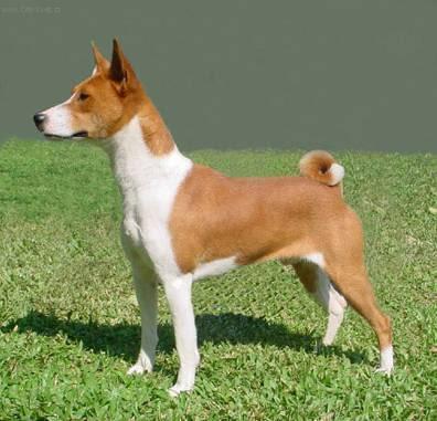 Basenji Dog Standar