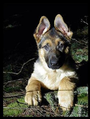 German Shepherd Dog and Puppies