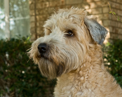 Wheaten Terrier Puppies on Soft Coated Wheaten Terrier Puppies   Top Dog Directory