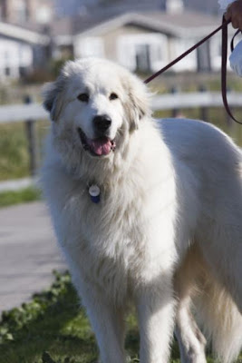 Great Pyrenees Guard