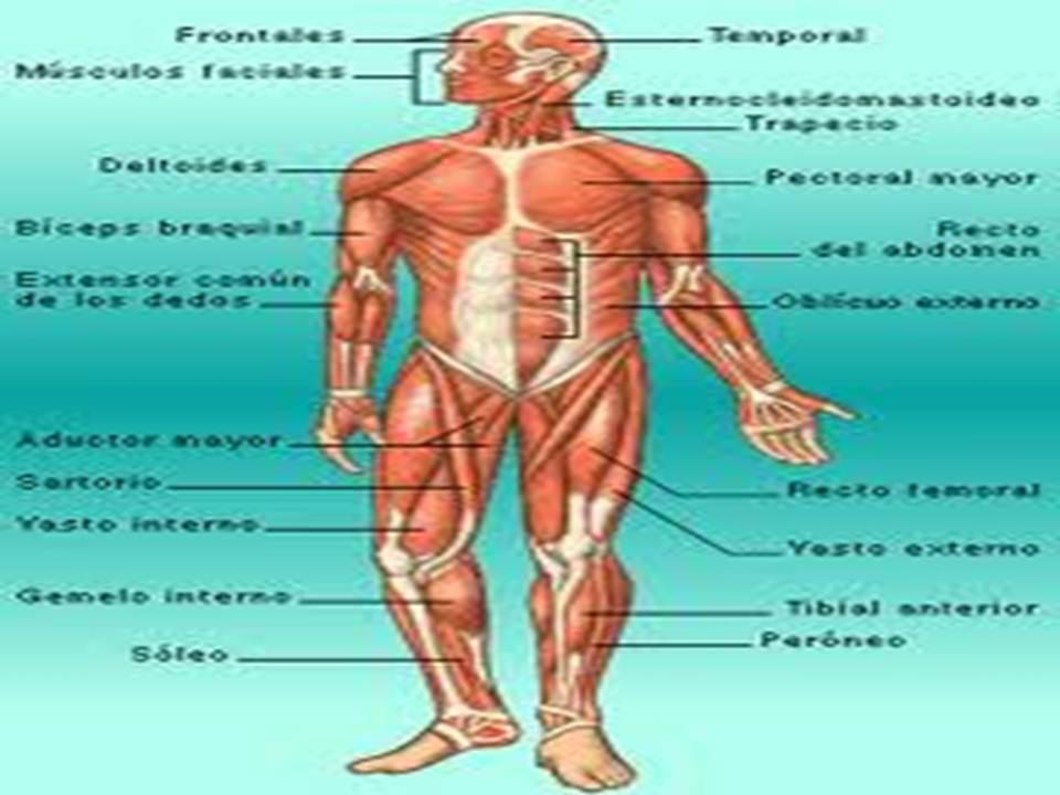 Blog informativo: Sistema muscular