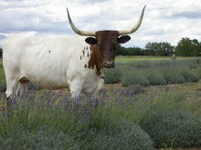 Lavender & Longhorns