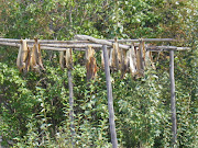 Salmon on drying rack