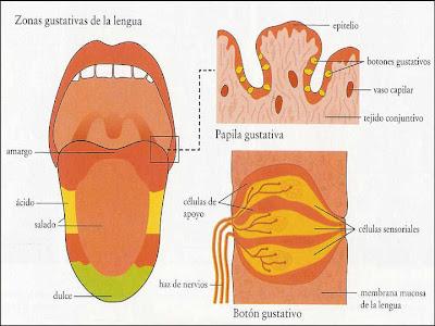 SELECTED ITEMS BIOPHYSICS BIOFISICA: 8.- EL SENTIDO DEL GUSTO
