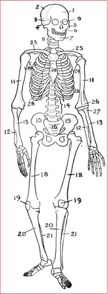 Gambar Rangka Tulang M Ia
