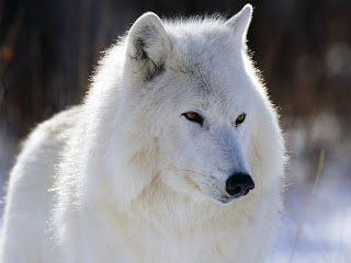 imagem-de-lobo