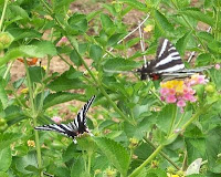 2 zebra swallowtails