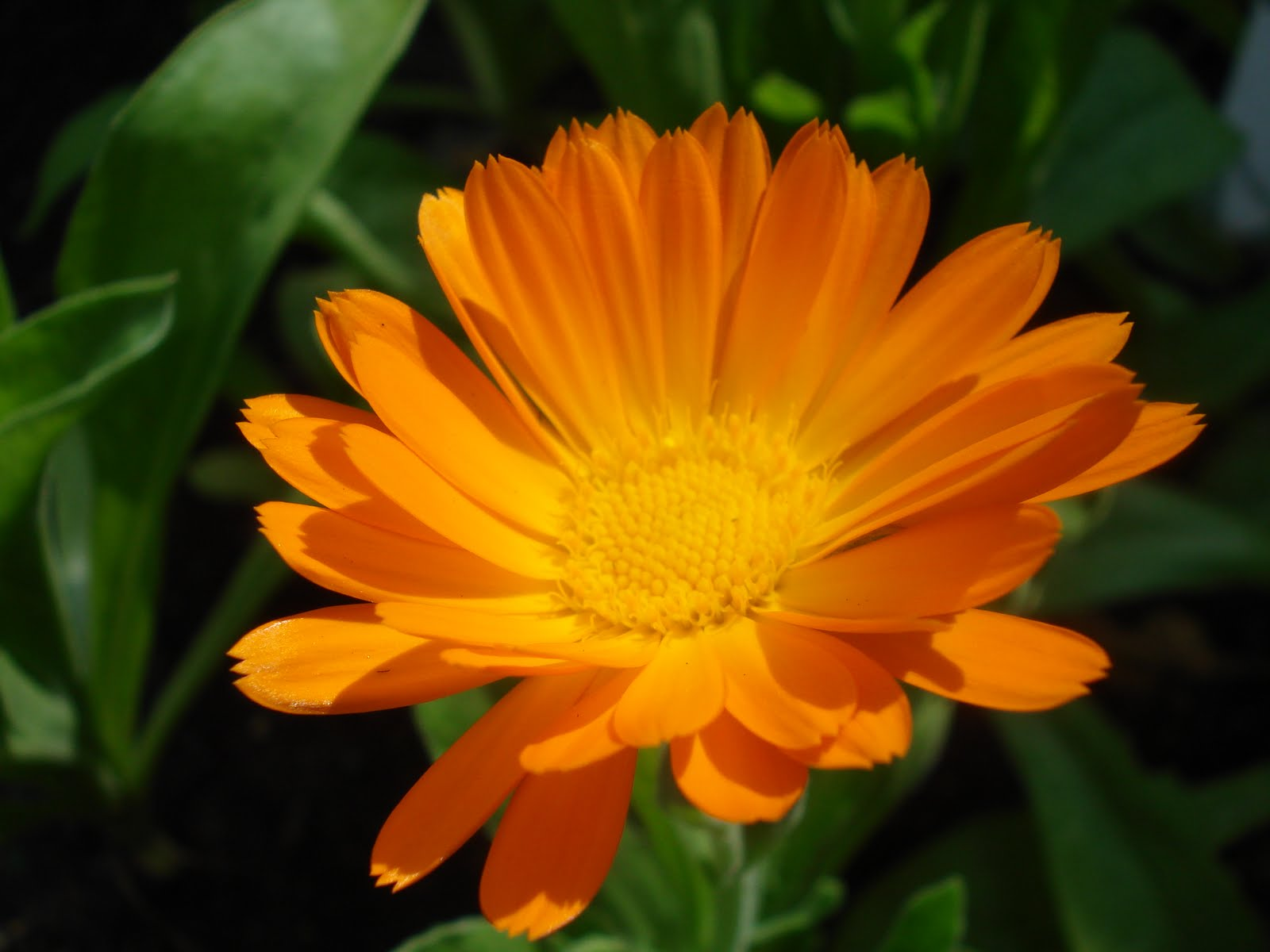 the world of gaea Calendula