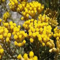 immortelle d'Italie-Helichrysum italicum