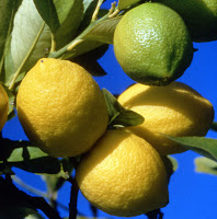 Citronnier, Citron, Citrus limon