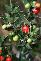 fragon épineux-Ruscus aculeatus