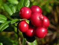 airelle rouge (Vaccinium vitis-idaea)