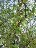 Bouleau-Betula pendula