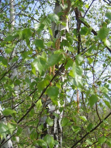 BOULEAU-Betula pendula-PHYTOTHERAPIE-HOMEOPATHIE-MEDECINE