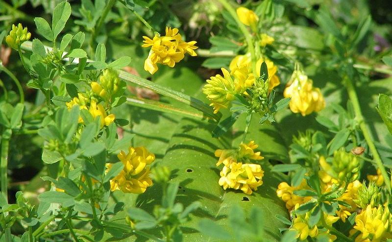 Liste des plantes medicinales se soigner par les plantes l phytotherapie homeopathie medecine - Liste des plantes medicinales ...