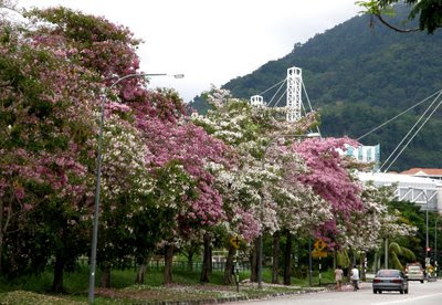 Flower Tree Penang Pisa
