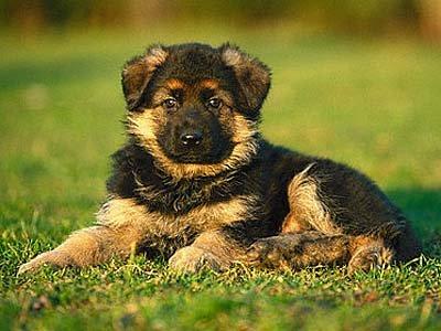 Las 10 razas de Perros mas famosas del mundo
