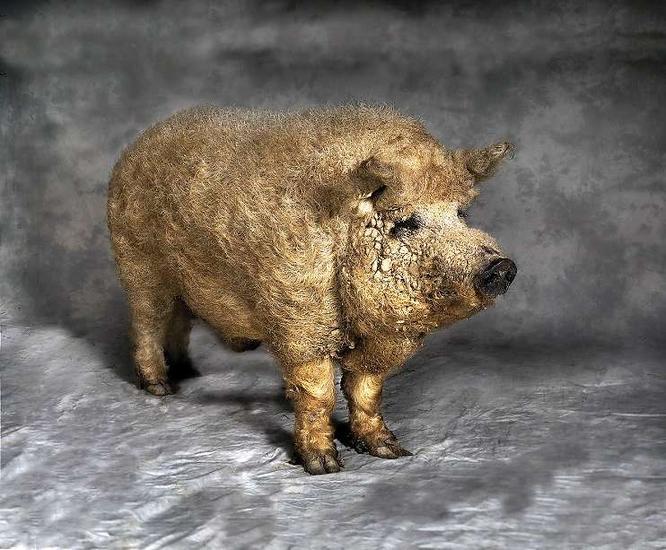 wooly pigs  der tagesspiel on pig breeds