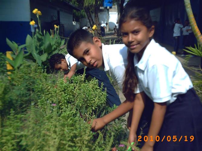 """Estudiantes de terecero """"D"""" obteniendo semillas de albahaca blanca"""