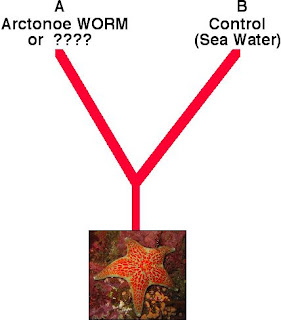 scale worm and sea star symbiotic relationship