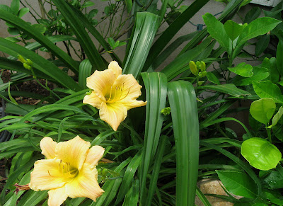 Annieinaustin, daylily with lemon