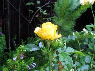 Annieinaustin, julia child rose with Poliomintha