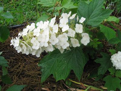 Annieinaustin, Oakleaf Hydrangea