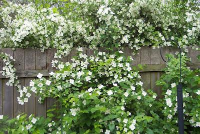 Annieinaustin,mockorange in bloom