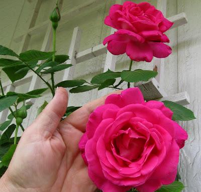 Annieinaustin, pink rose in hand