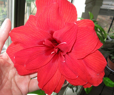 Annieinaustin, Amaryllis Red Dragon