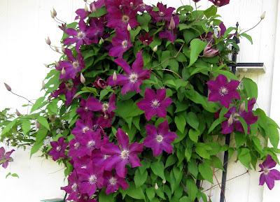 Annieinaustin, Purple clematis