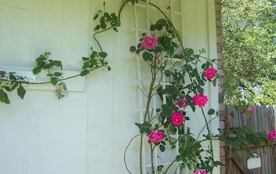 The Transplantable Rose April 2008