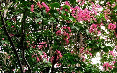 Annieinaustin,crepe myrtle over fence