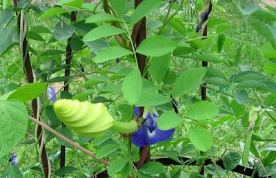 Annieinaustin, moonvine, blue pea vine
