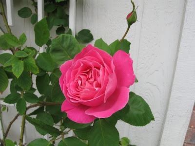 Pink climbing rose,annieinaustin