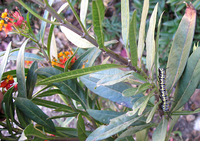 December Monarch larva,annieinaustin