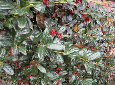 Burford holly berries,annieinaustin