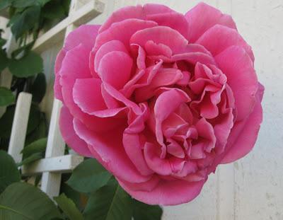 Big pink climbing rose,Annieinaustin