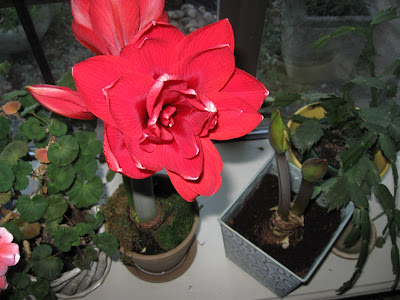 Red Dragon amaryllis, Annieinaustin