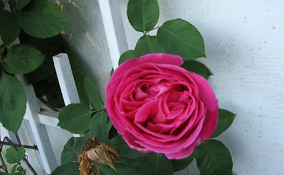Pink rose in January, Annieinaustin