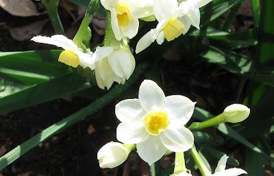 Narcissus Grand Primo, Annieinaustin