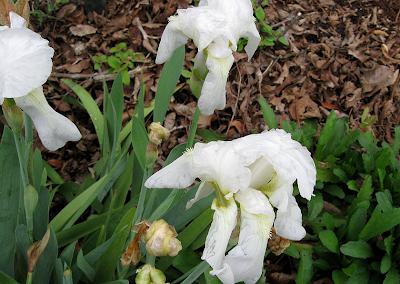 Annieinaustin,white iris in rain