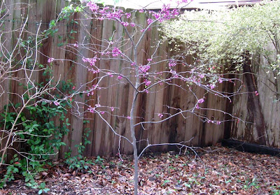 Annieinaustin Cercis Forest Pansy