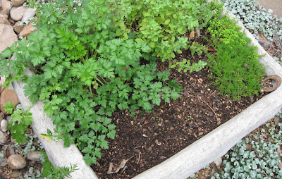 Herbs in hypertufa trough,annieinaustin