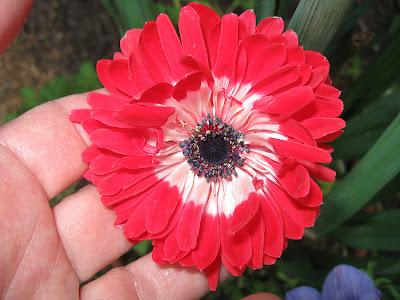 Annieinaustin, red anemone