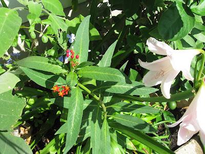 Annieinaustin, Plumbago, milkweed,Amarcrinum