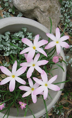 Annieinaustin, rainlilies, Silver ponyfoot